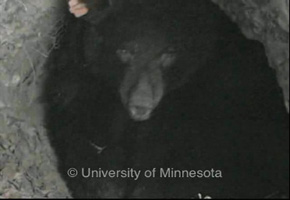 bear behavior 2