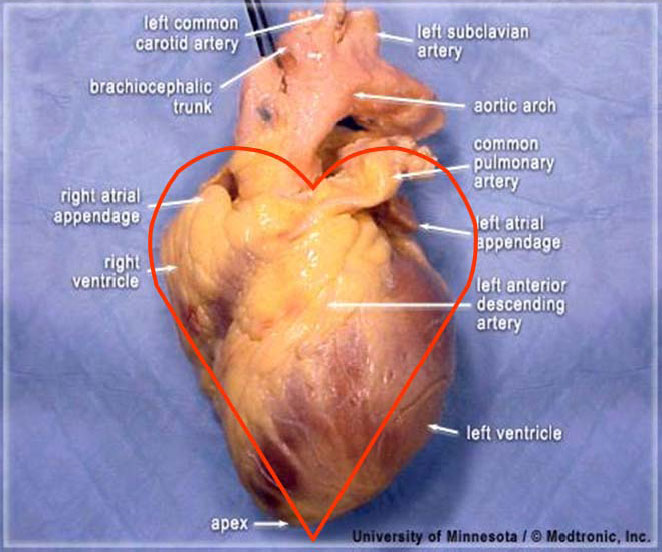 Picture of location of heart in human body impremedia valentine position a human heart ccuart