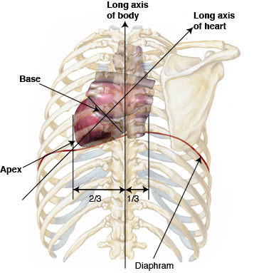 Anatomy Tutorial - Posterior | Atlas of Human Cardiac Anatomy