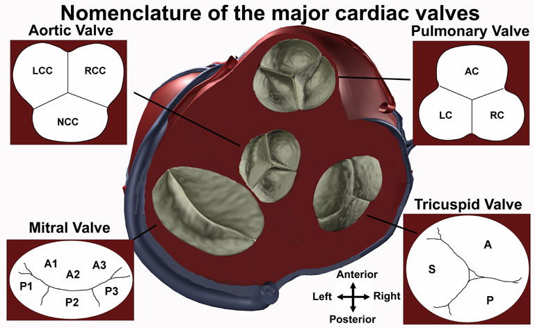 Anatomy Tutorial Cardiac Valve Nomenclature Atlas Of Human