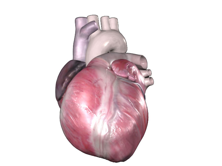 External Imaging Left Margin Atlas Of Human Cardiac Anatomy