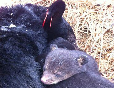 Black bear coat colors
